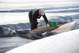 Ein Erntehelfer sticht Spargel auf einem Spargelfeld.