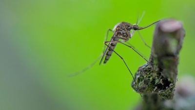 Eine Mücken hängt an einem Ast.