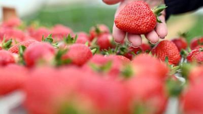 Auf einem Erdbeerhof werden frisch geerntete Erdbeeren gezeigt.