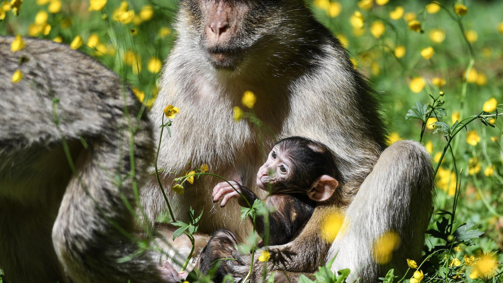 Eine Berberaffen-Mutter hält ihr Baby im Affenfreigehege in Salem im Schoß.