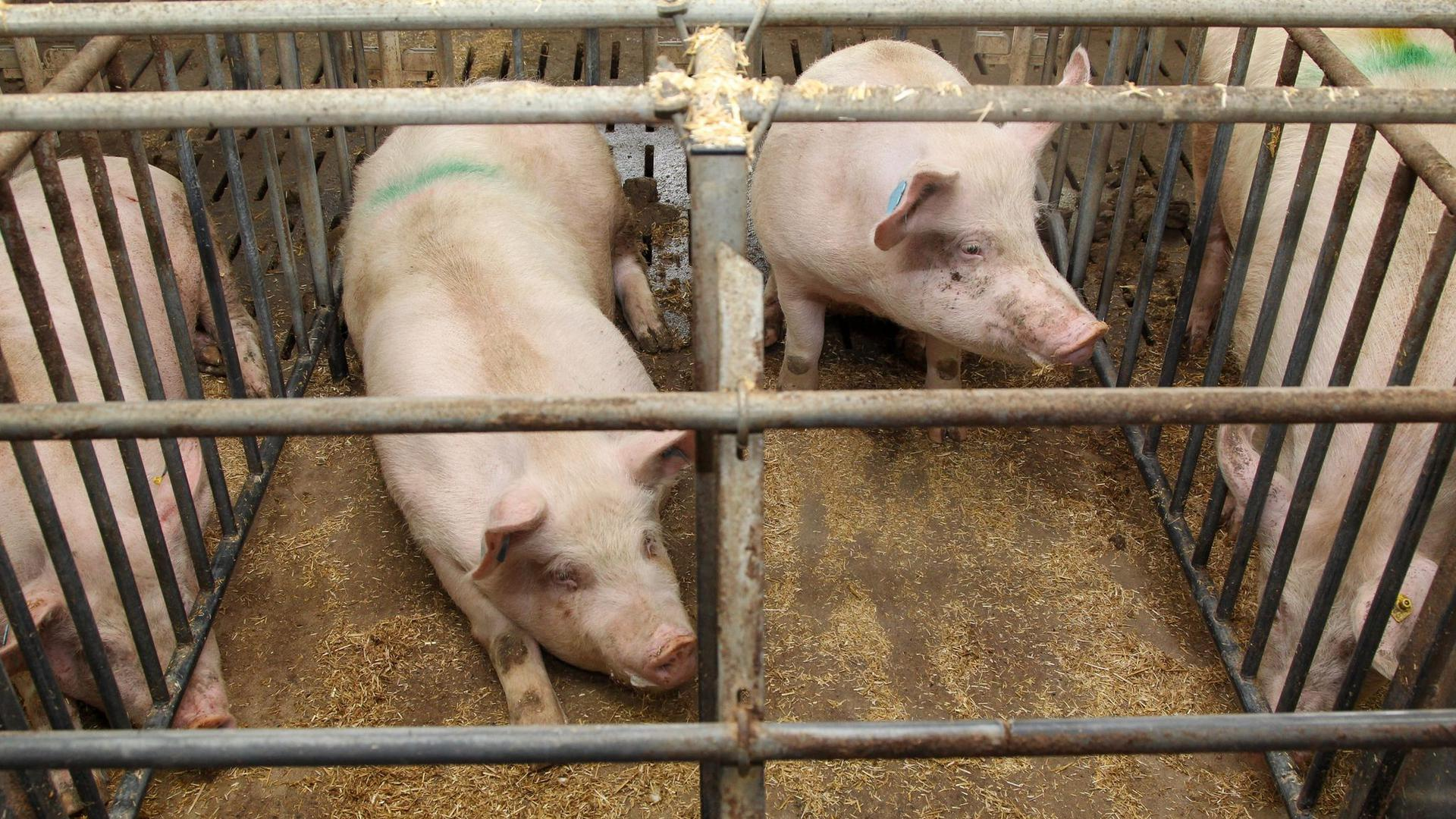 Schweine liegen auf einem Bauernhof in einem konventionellen Kastenstall.