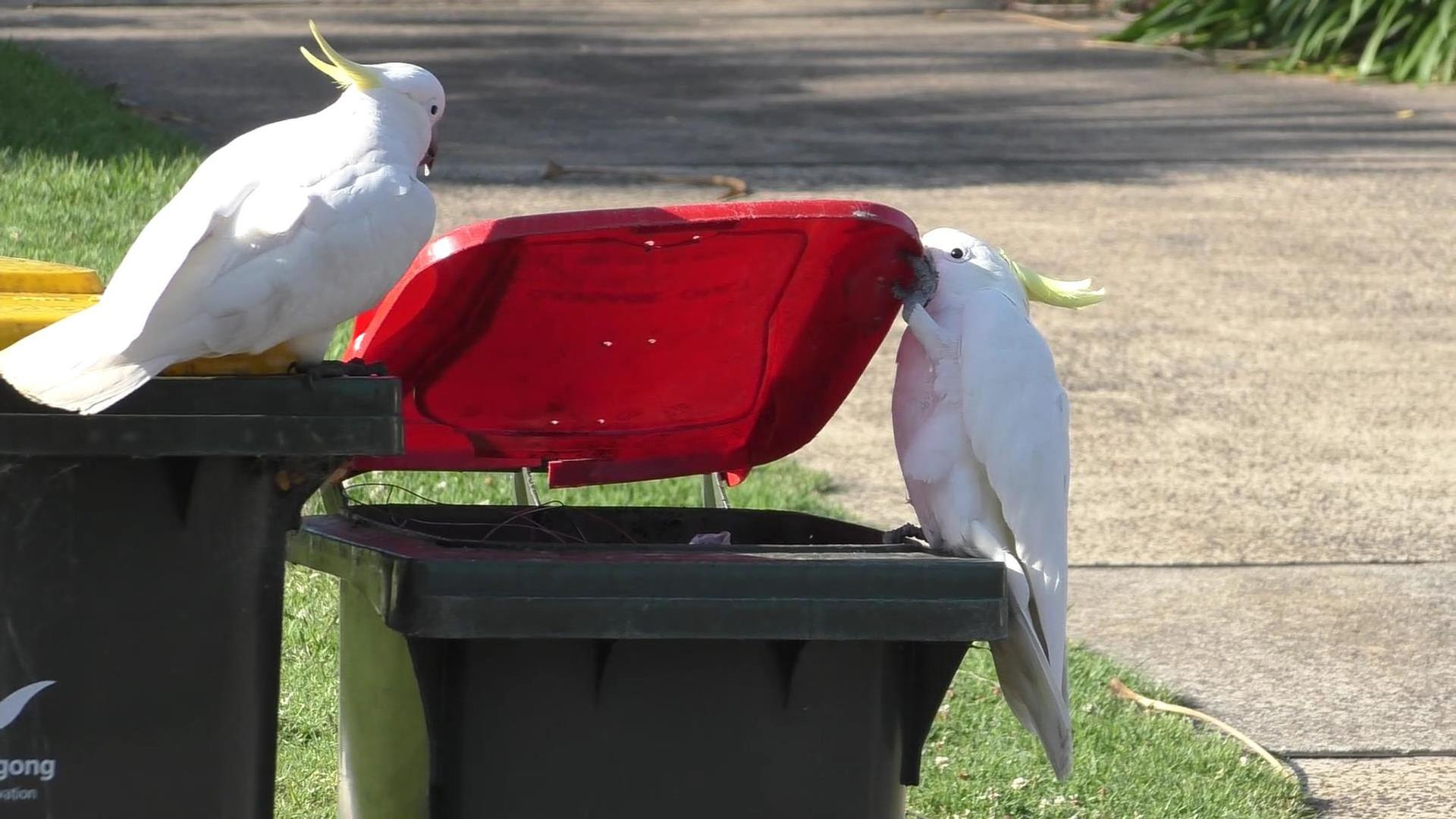 Ein australischer Gelbhaubenkakadu öffnet mit seinem Schnabel und seinem Fuß eine Tonne, während ein zweiter Vogel ihn genau beobachtet.