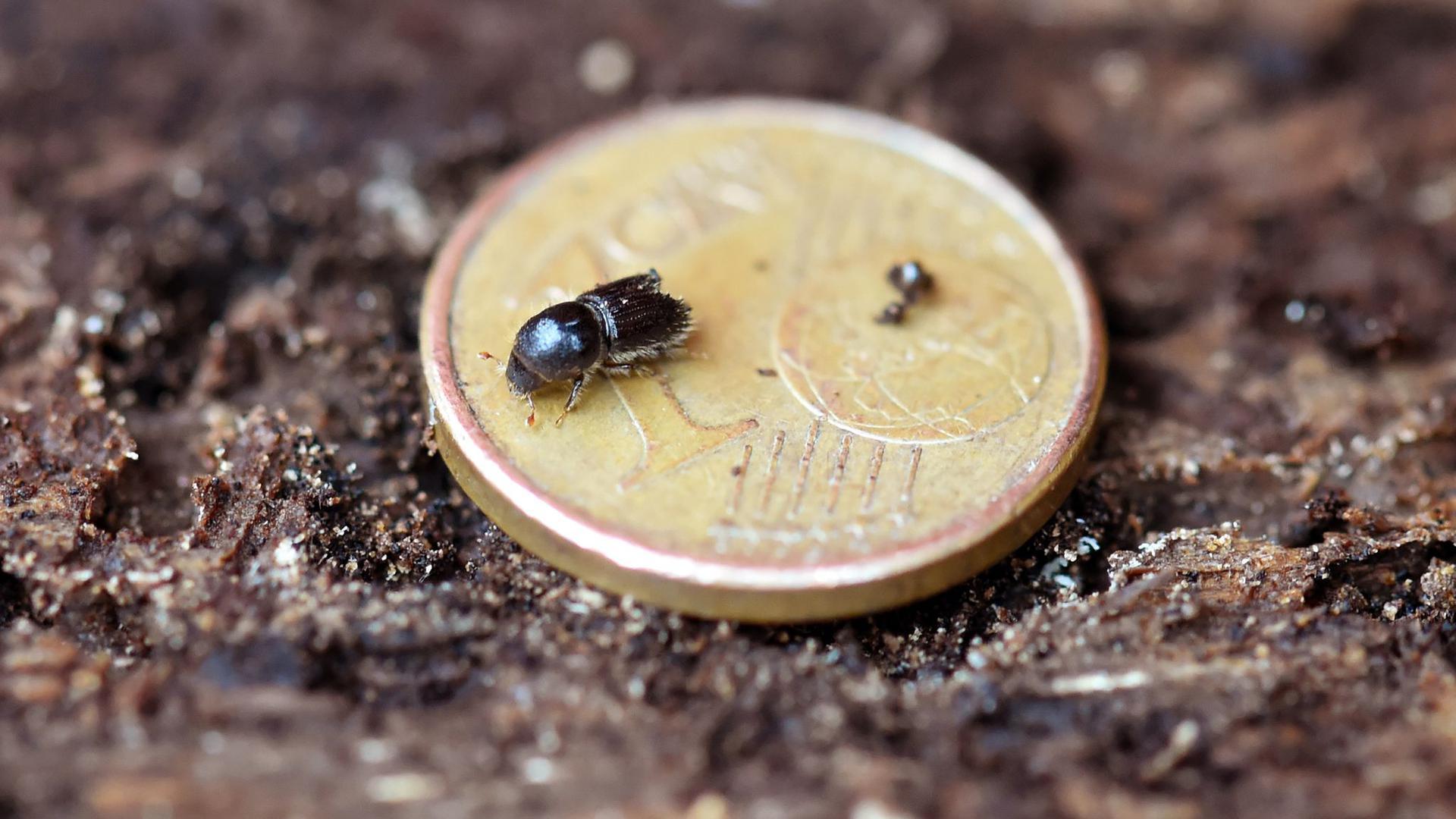 Ein Borkenkäfer krabbelt beim Schliffkopf im Schwarzwald über eine Ein-Cent-Münze, die auf einer Fichtenrinde liegt.