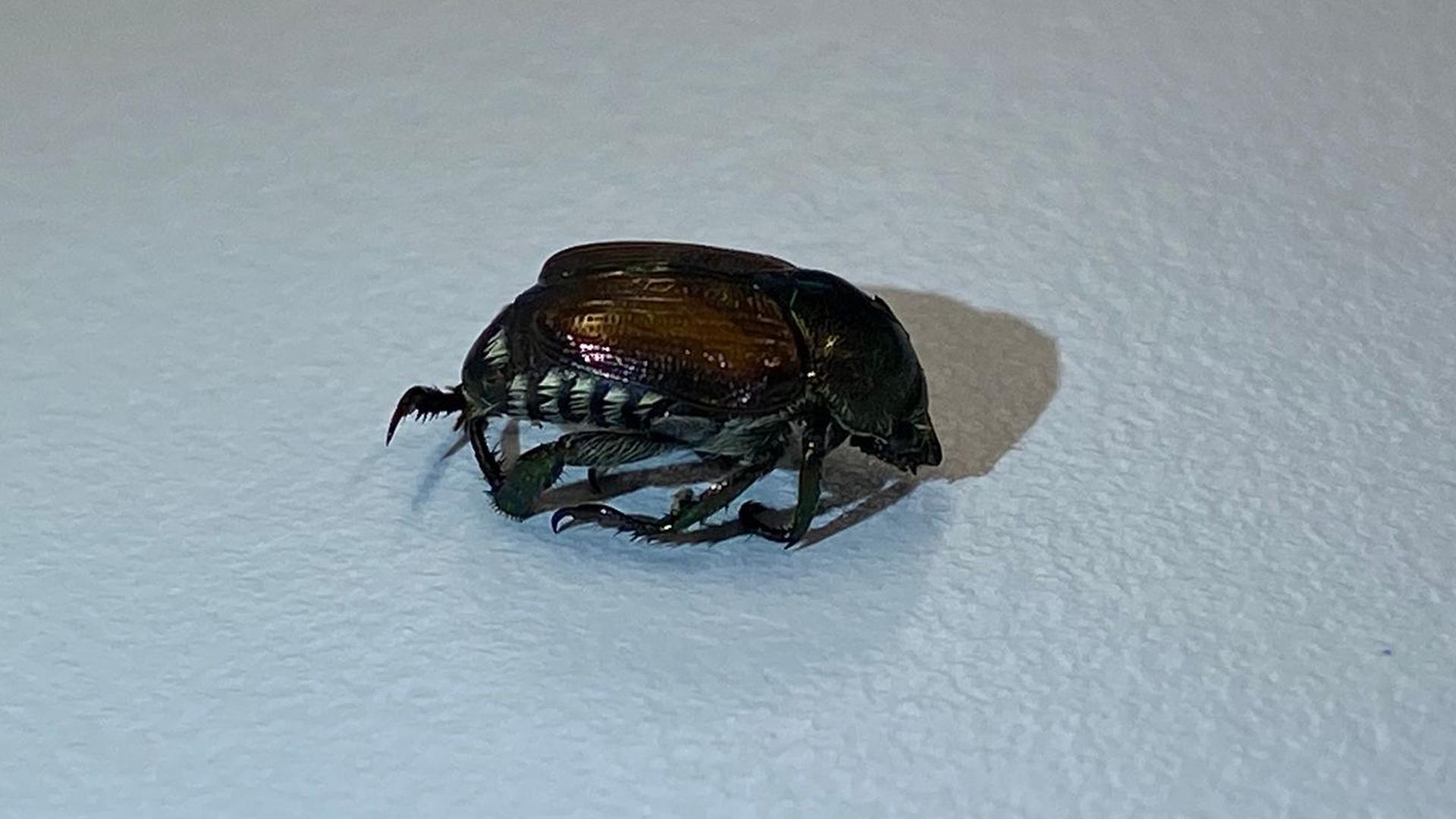 Das Foto zeigt einen in Basel entdeckten Japankäfer (Popillia japonica).