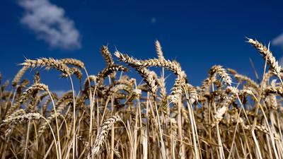 Erntereifer Weizen leuchtet auf einem Getreidefeld vor blauem Himmel.