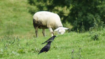 Raben stehen auf einer Weide vor einem Schaf.
