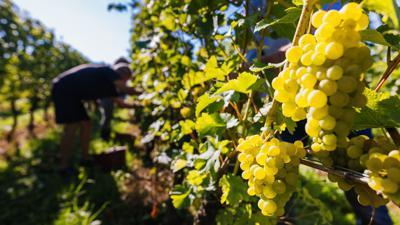 Trauben hängen an einem Rebstock, während im Hintergrund Erntehelfer Trauben ernten.