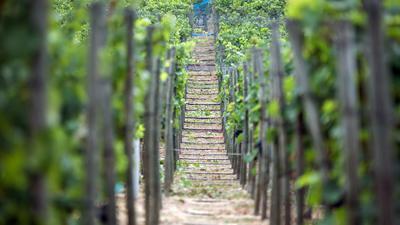 Rebstöcke unterschiedlicher Sorten stehen auf den Weinbergen.