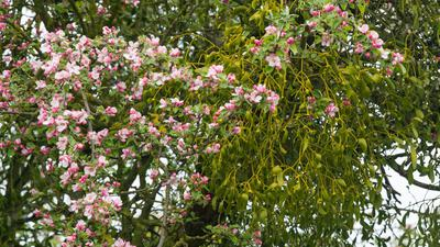 Die Heilpflanze breitet sich massiv aus, mit fatalen Folgen für Obstbäume.