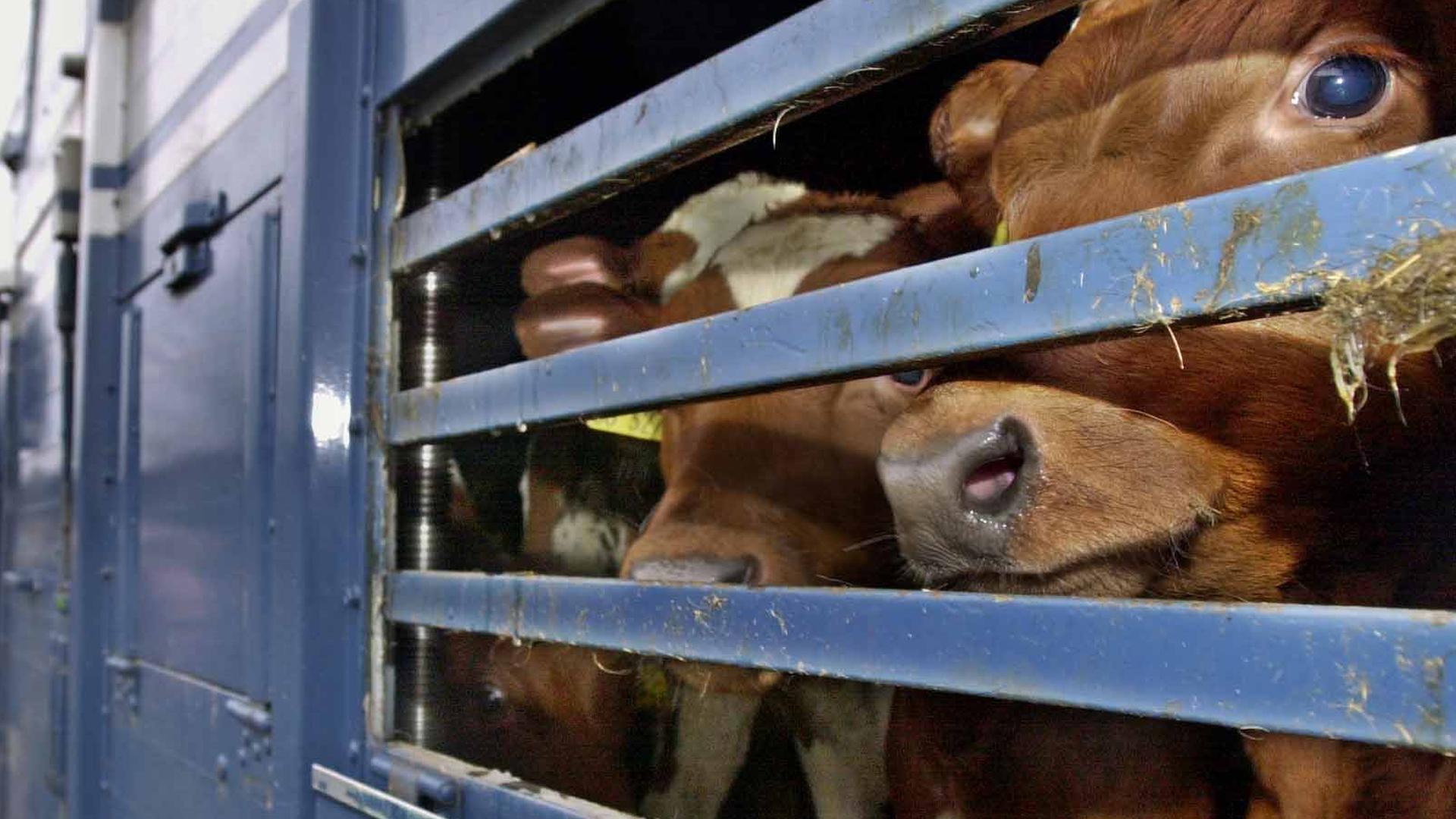 ARCHIV - 29.01.2001, Schleswig-Holstein, Nordhastedt: Kälber werden auf einem LKW transportiert. Das Begrenzen von Tiertransporten ist am Mittwoch Thema im niedersächsischen Landtag. Foto: Ulrich Perrey/dpa +++ dpa-Bildfunk +++