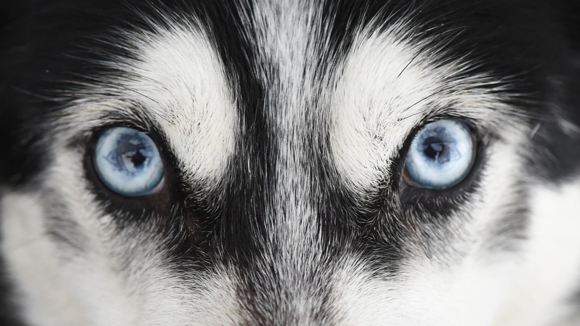 dpatopbilder Ein sibirischer Husky schaut am 23.01.2016 vor dem Schlittenhunderennen in Unterjoch (Bayern) in die Kamera des Fotografen. Rund 800 Schlittenhunde gehen bei dem Internationalen Rennen an den Start bei dem die Gespanne eines Strecke zwischen fünf und 18 Kilometern zurücklegen müssen. Foto: Felix Kästle/dpa +++(c) dpa - Bildfunk+++  