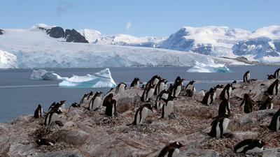 """Brüten in der Eiskammer der Antarktis: Adéliepinguine werden bis zu 70 Zentimeter groß und fünf Kilogramm schwer. Ihr Bestand ist stark gesunken, sie gelten als """"potenziell gefährdet""""."""