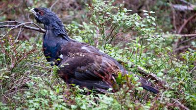 Ein vier Monate alter Auerhahn: Die Vögel sind als bedrohte Tierart streng geschützt und kommen im Schwarzwald nur noch in wenigen Gebieten vor.