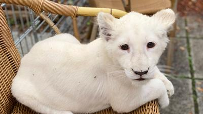Das weiße Löwenbaby liegt in einem Korbsessel.