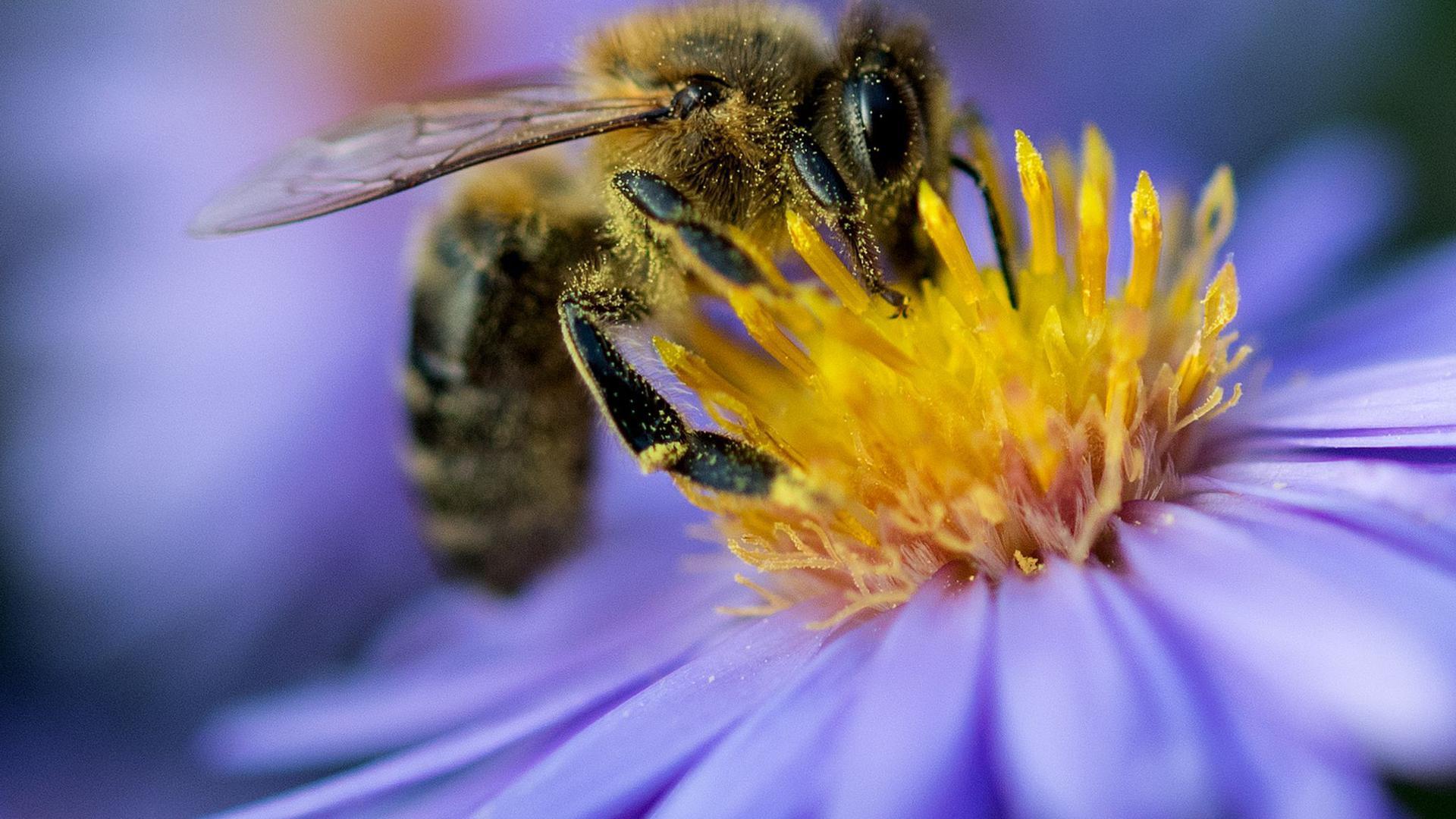 Eine Biene sammelt am Pollen von einer Blüte.
