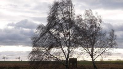 Der Wind weht durch kahle Birken in Nordsachsen.