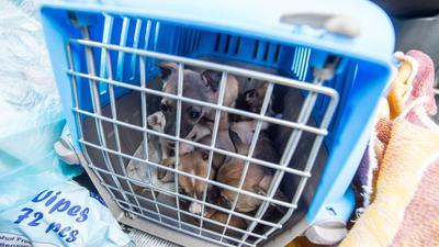 Offenbar boomt der illegale Handel besonders mit Welpen und Katzen in der Corona-Krise: Nach Angaben des Deutschen Tierschutzbundes nahm er im vergangenen Jahr deutlich zu (Archiv).