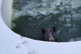 Ein Wildschwein ist in einem Swimmingpool in Neuss gefangen.