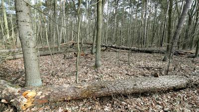 Umgestürzte Bäume und Totholz in einem Mischwaldbestand mit Kiefern liegen im Revier Müggelsee im Bezirk Köpenick am Rand eines Waldweges.