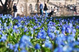 Bei Sonnenschein und Außentemperaturen um die 9 Grad blühen im Botanischen Garten Karlsruhe Blausterne.