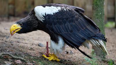 Der Riesenseeadler Grobi frisst in seiner Voliere in der Falknerei Bergisch Land.