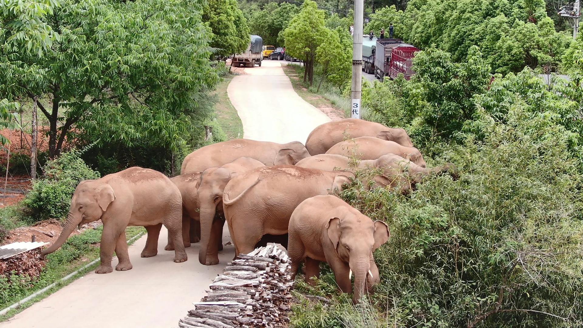 Die wandernde Elefantenherde weidet in einem Bezirk der Stadt Kunming im Südwesten der chinesischen Provinz Yunnan.