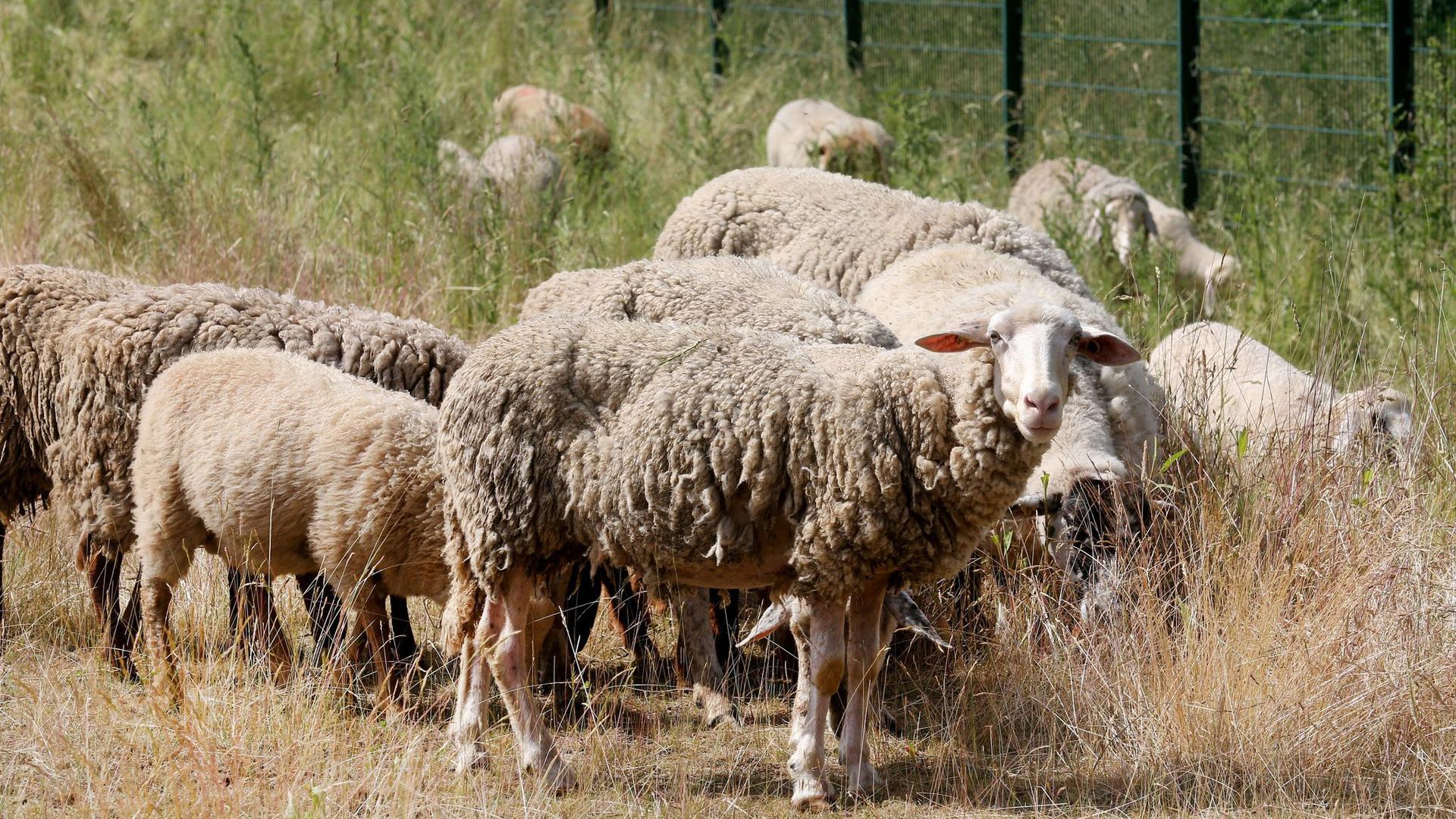 """Schafe sollen als """"natürliche Rasenmäher"""" den Bewuchs in den Autobahnentwässerungsanlagen kurz halten."""