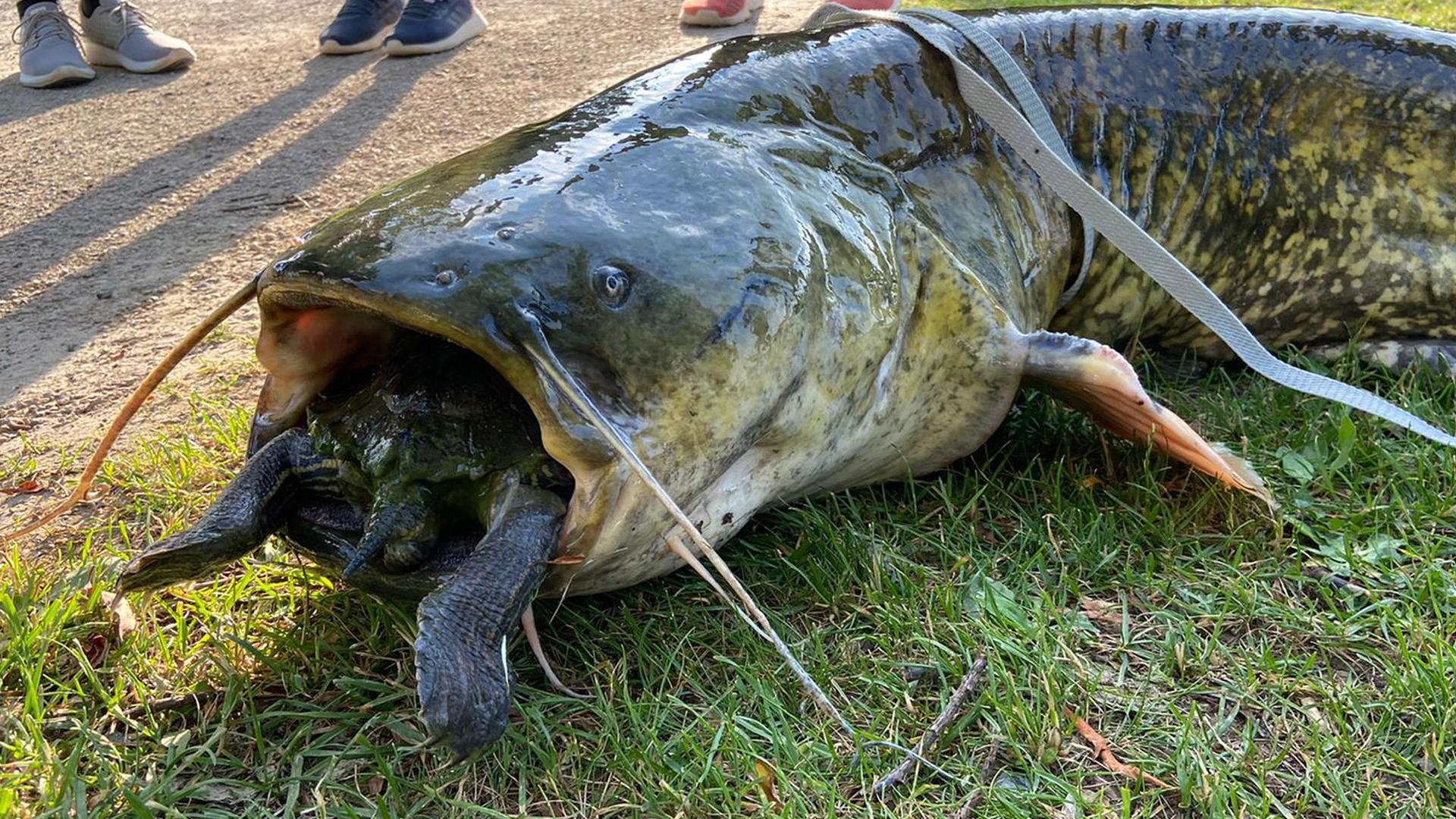 Ein Wels mit einer Rotwangenschildkröte im Maul.