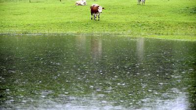 """Drei Kühe stehen auf ihrer zum großen Teil überfluteten Wiese im Berchtesgadener Land. """"So dreht ein Weiderind gern trotz vorhandenen Unterstands sein Hinterteil gegen die Hauptwindrichtung und trotzt so Sturm, Regen oder eventuellem Hagel"""""""