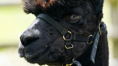"""Das Alpaka mit dem Namen """"Geronimo"""" steht auf der Shepherds Close Farm."""