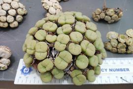 Von der Polizei in Südafrikas Northern Cape Provinz konfiszierte Pflanzen, die unter Naturschutz stehen.