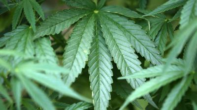 Hanf-Pflanzen (Cannabis): Luxemburgs Regierung verfolgt seit einiger Zeit Pläne, den Anbau, Verkauf und Konsum zum persönlichen Gebrauch zu legalisieren.