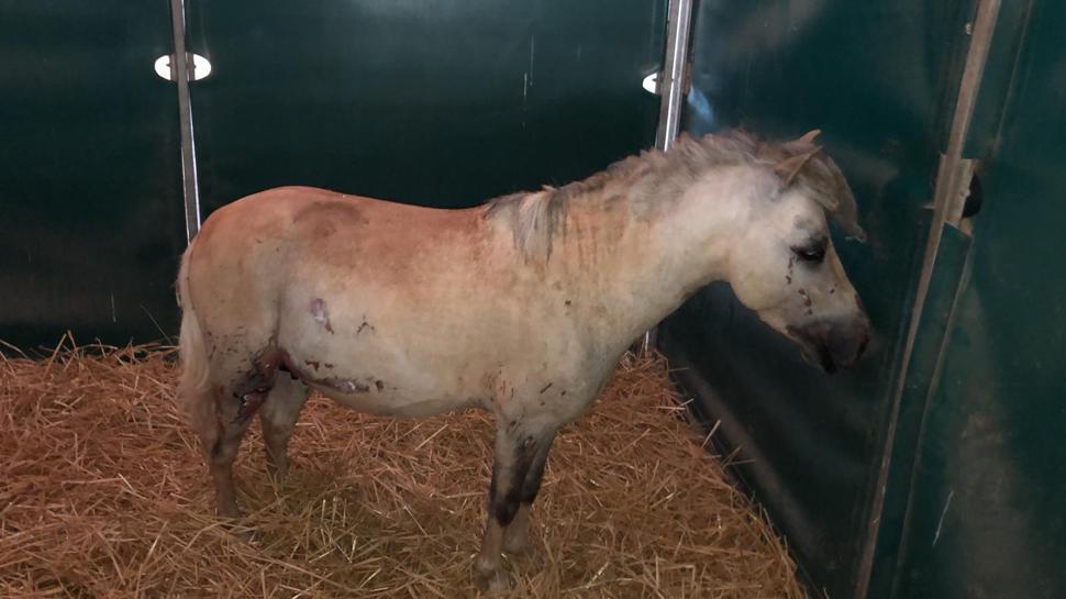 Dieses Pony erlitt Verbrennungen.