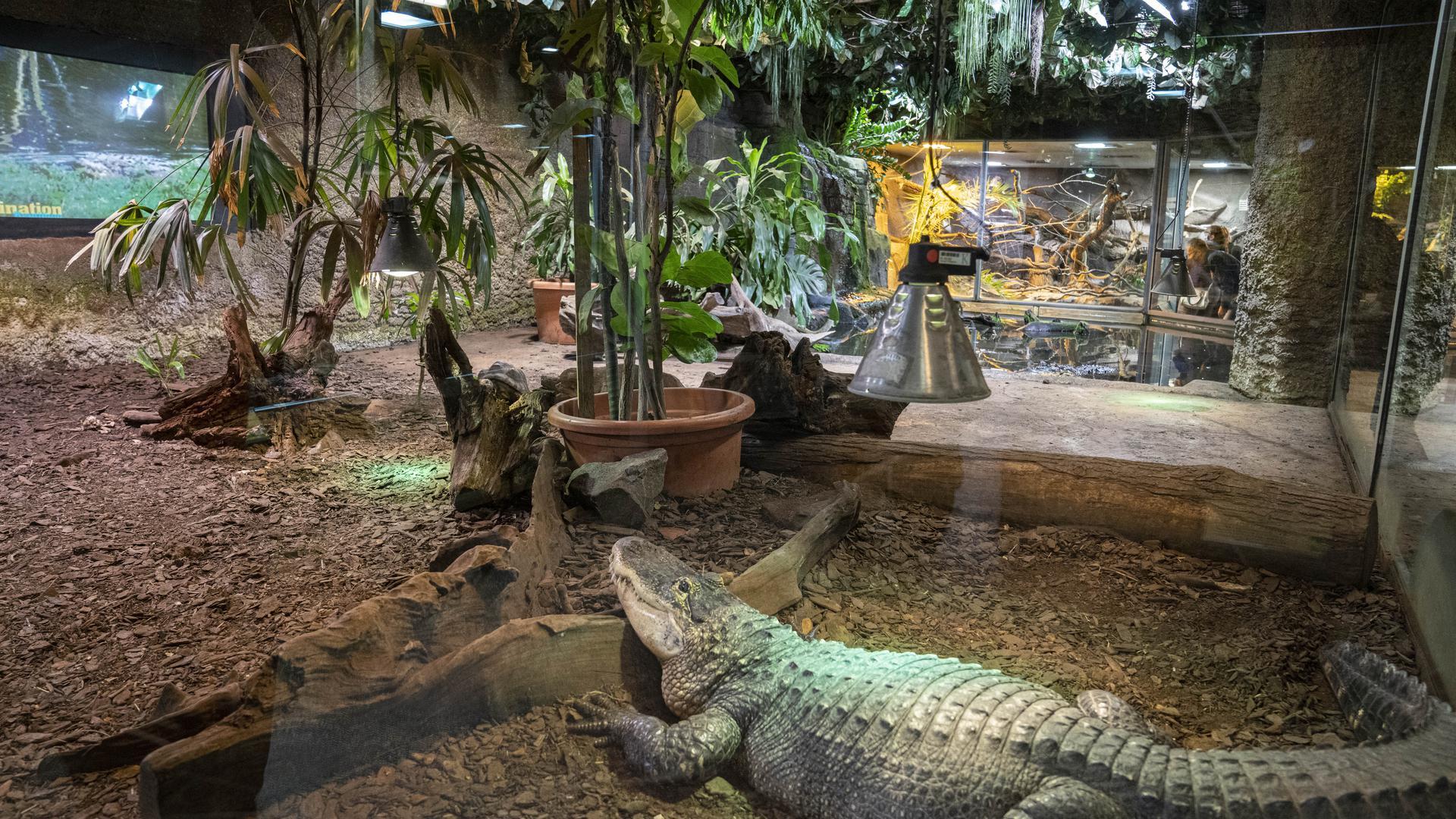 Auf der Suche nach Futter: Die Kleinbären zählen zu den Lieblingen der Besucher im Reptilium.