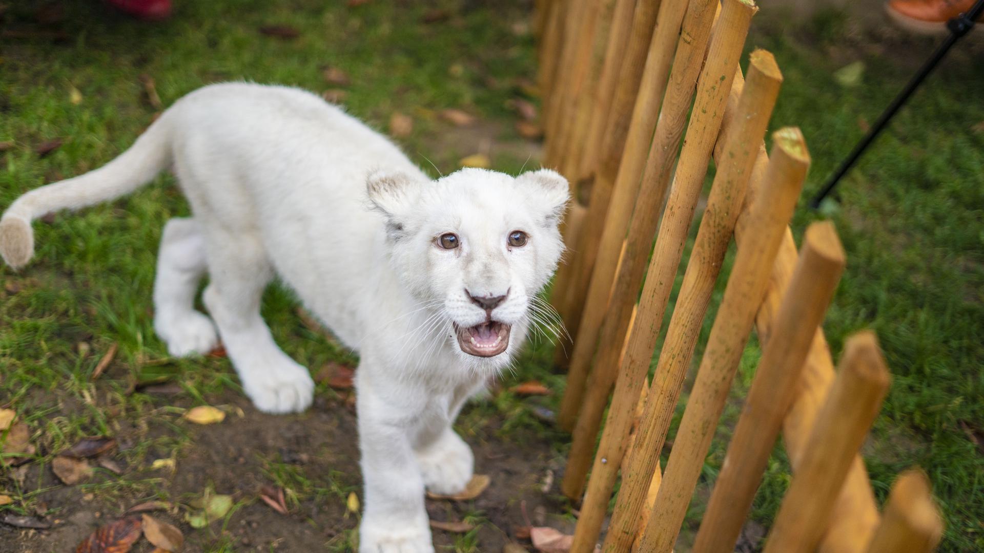 Löwenbaby Lea Reptilium Landau