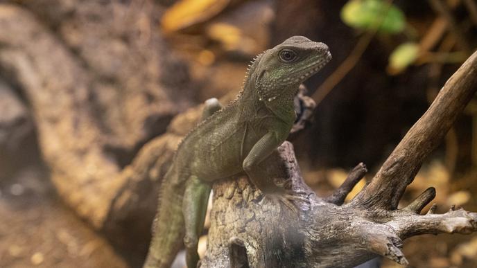 Nachfahre der Dinosaurier: Grüne Wasseragamen können bis zu 90 Zentimeter groß werden.