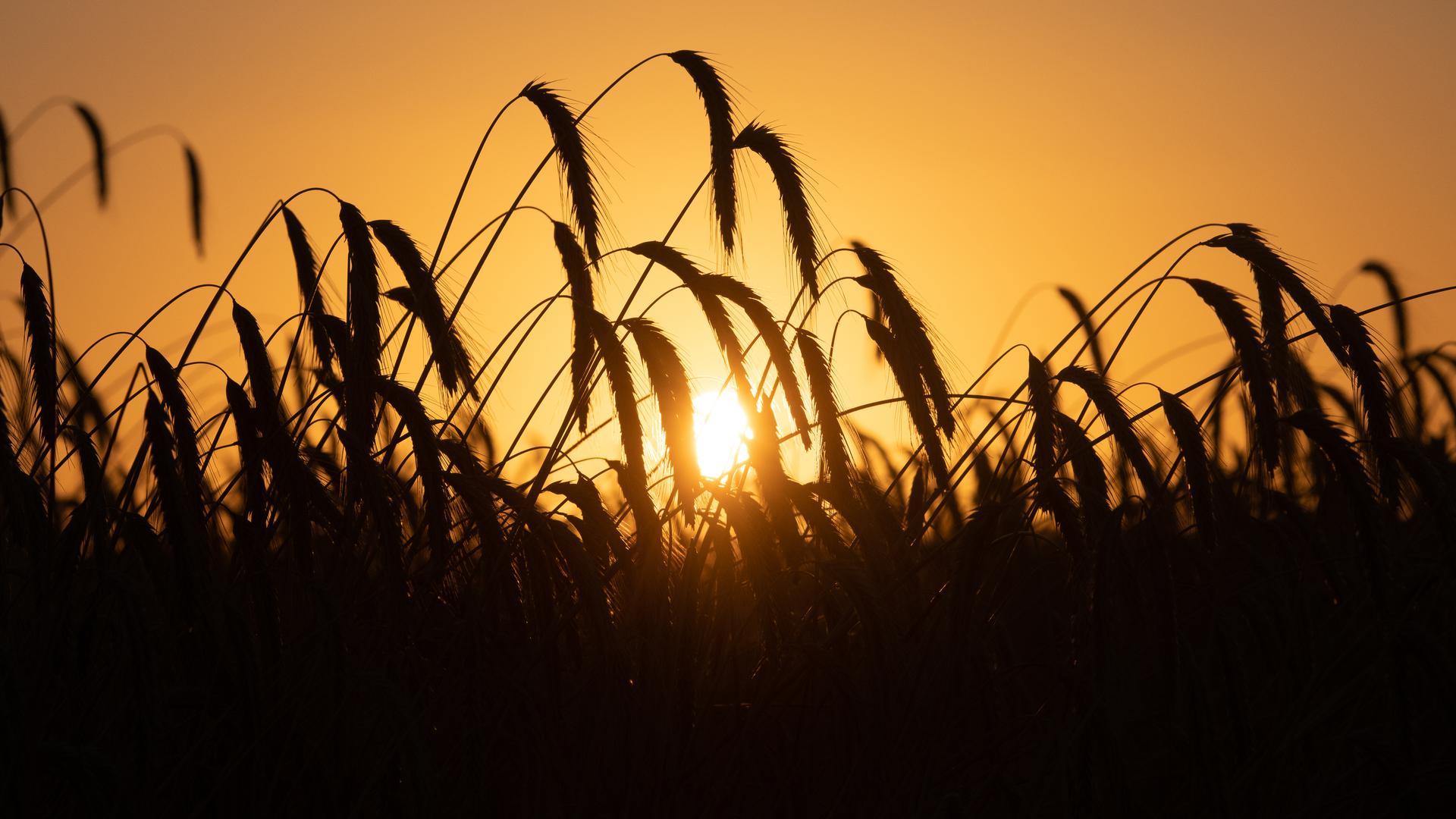 Empfindlich gegen Klimaveränderungen: Es wird erwartet, dass der Klimawandel große Auswirkungen auf die Landwirtschaft haben wird. Forscher arbeiten deswegen daran, Pflanzen zum Beispiel hitzeresistenter zu machen.