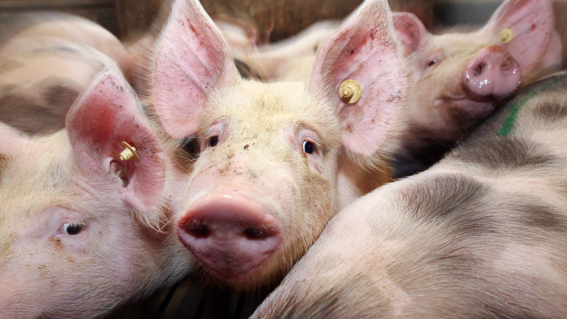 Ferkel drängen sich im Schweinestall