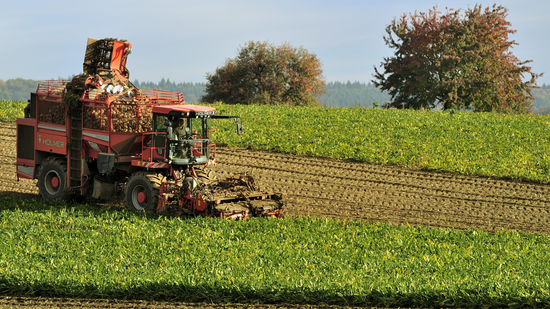 Rübenernte in Heidelsheim: Erntemaschine auf einem Rübenacker