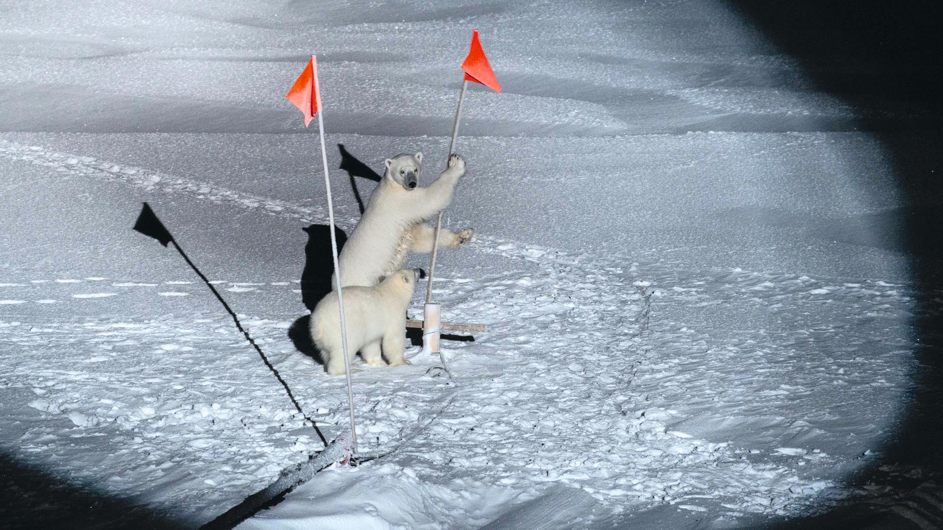 """Neugierige Besucher im arktischen Forschungscamp: Eine Eisbärenmutter und ihr Bärenkind interessieren sich für Fähnchen in der Umgebung des Eisbrechers """"Polarstern""""."""