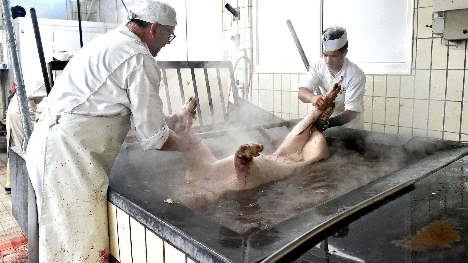 Abgebrüht: Im heißen Wasser brühen Metzger Beier und Azubi Aref das Tier ab.