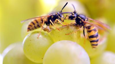 Zwei Wespen sitzen auf einer Weintraube und knabbern an ihr.
