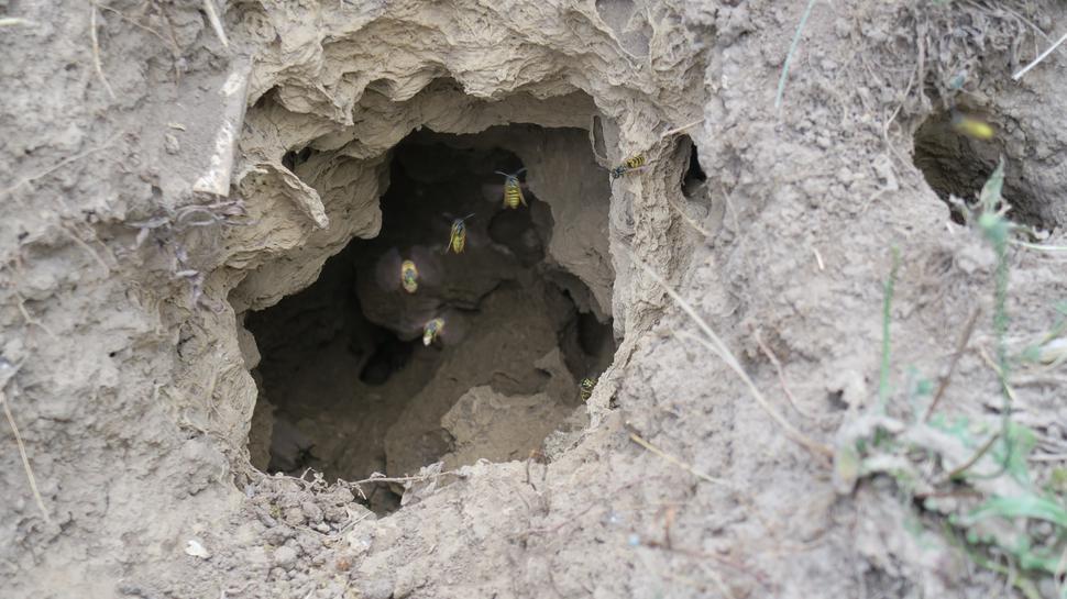 Mehrere Wespen fliegen in ein Nest, das sich in einem Erdloch befindet.