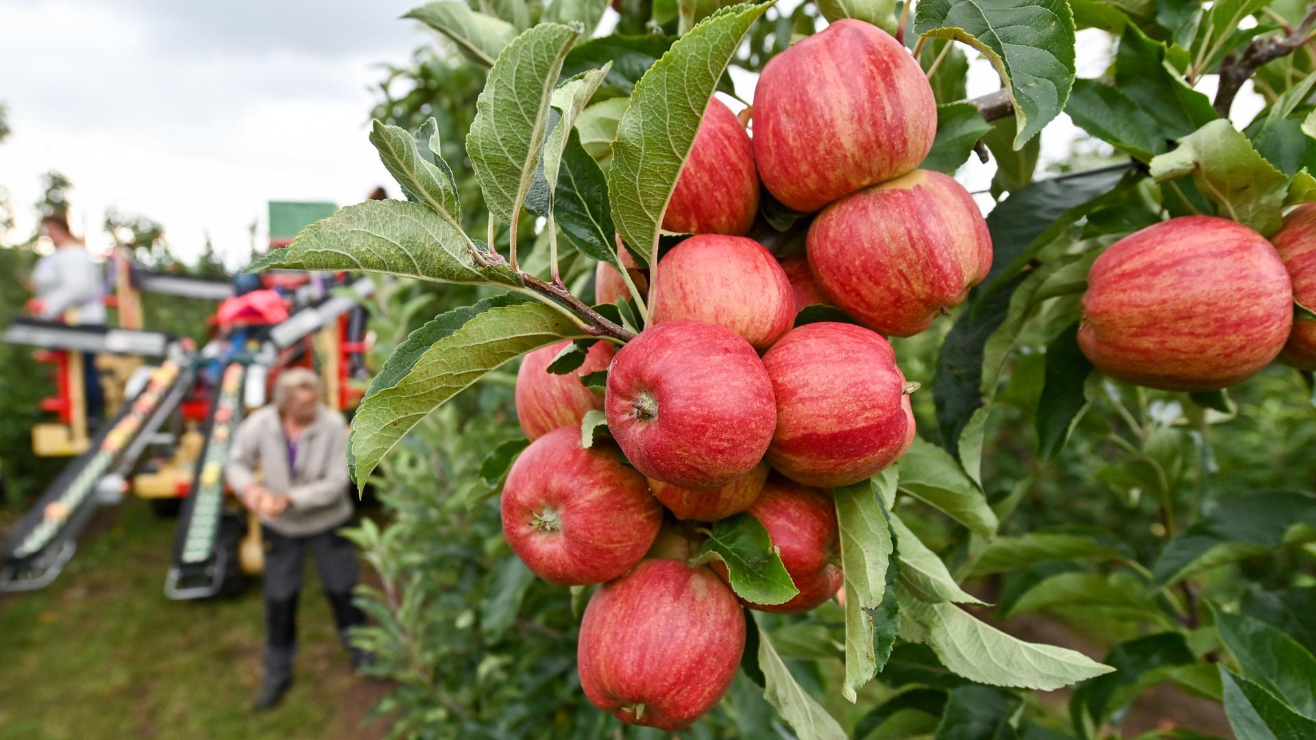 Mitarbeiterinnen einer Agrargenossenschaft . ernten Äpfel