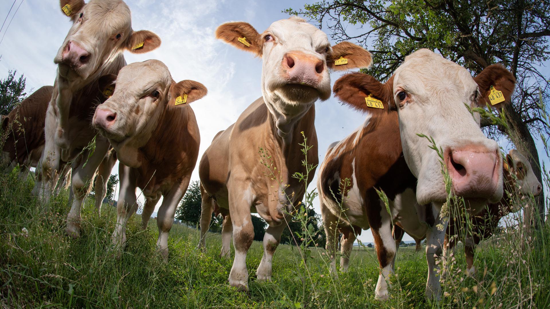 Kühe stehen auf einer Weide.