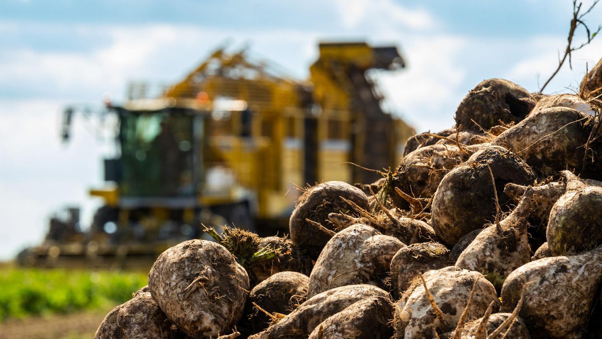 Mit einem Rübenroder werden Zuckerrüben auf einem Feld geerntet.