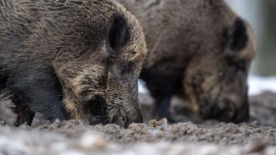 Nach dem Fund eines an der Afrikanischen Schweinepest verendeten Wildschweins in Brandenburg gehen die Experten des Versicherers Münchener und Magdeburger Agrar von weiteren infizierten Tieren aus.