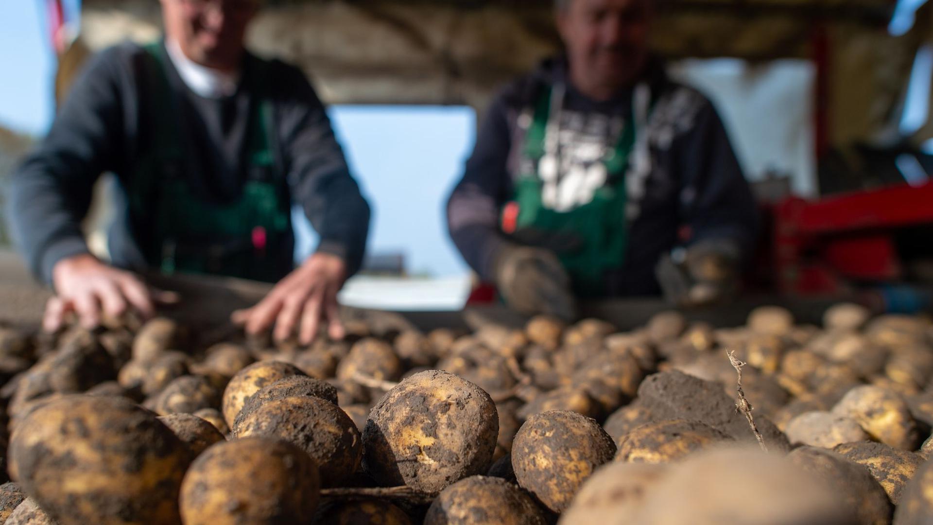 Frisch geerntete Kartoffeln liegen auf einem Förderband der Feldverladestation.