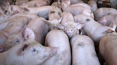 Schweine stehen in einem Stall im niedersächsischen Kirchlinteln.