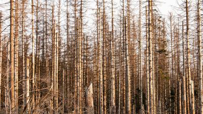 Abgestorbene Fichten im Harz.